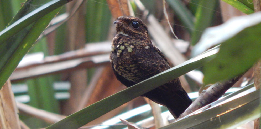 Bonaparte's Nightjar.