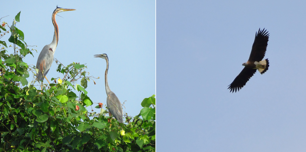 Two Purple Herons (Ardea purpurea) and a Grey-headed Fish Eagle (Ichthyophaga ichthyaetus)