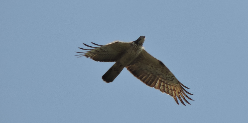Oriental Honey Buzzard (Pernis ptilorhynchus)