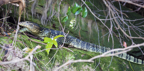 Wildlife of RER: The Asian Water Monitor