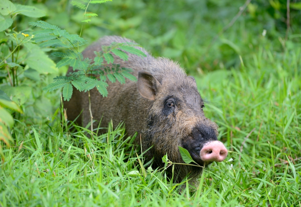 The Bearded Pig (Sus barbatus)