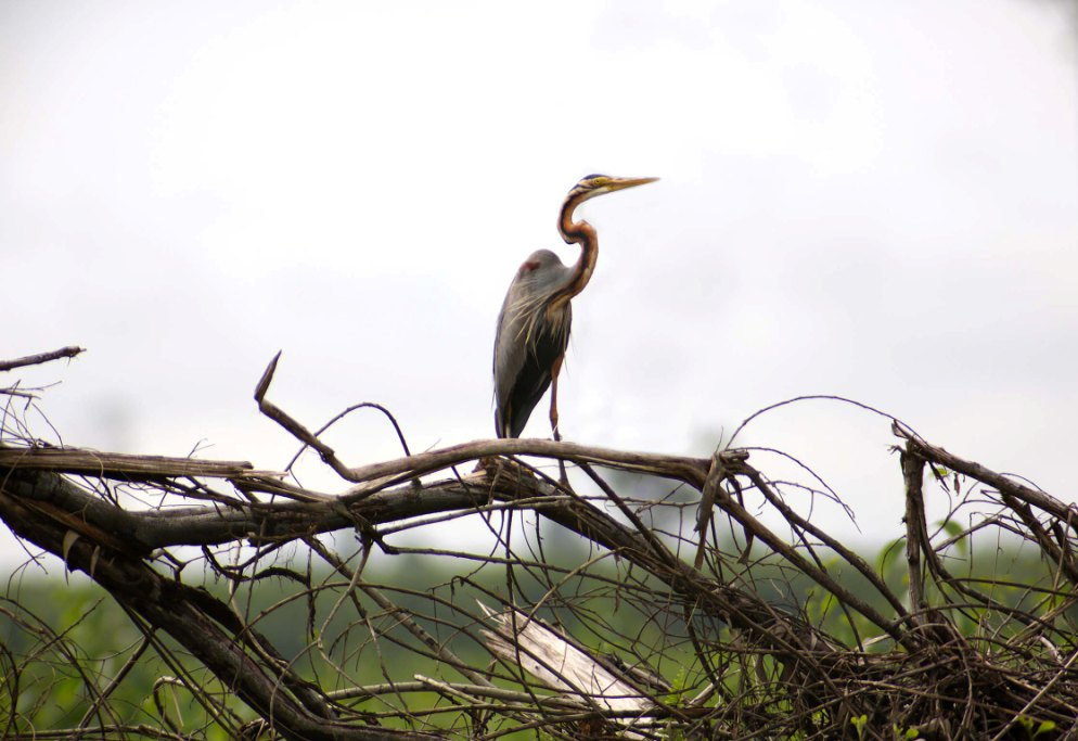 Wildlife of RER: Purple Heron