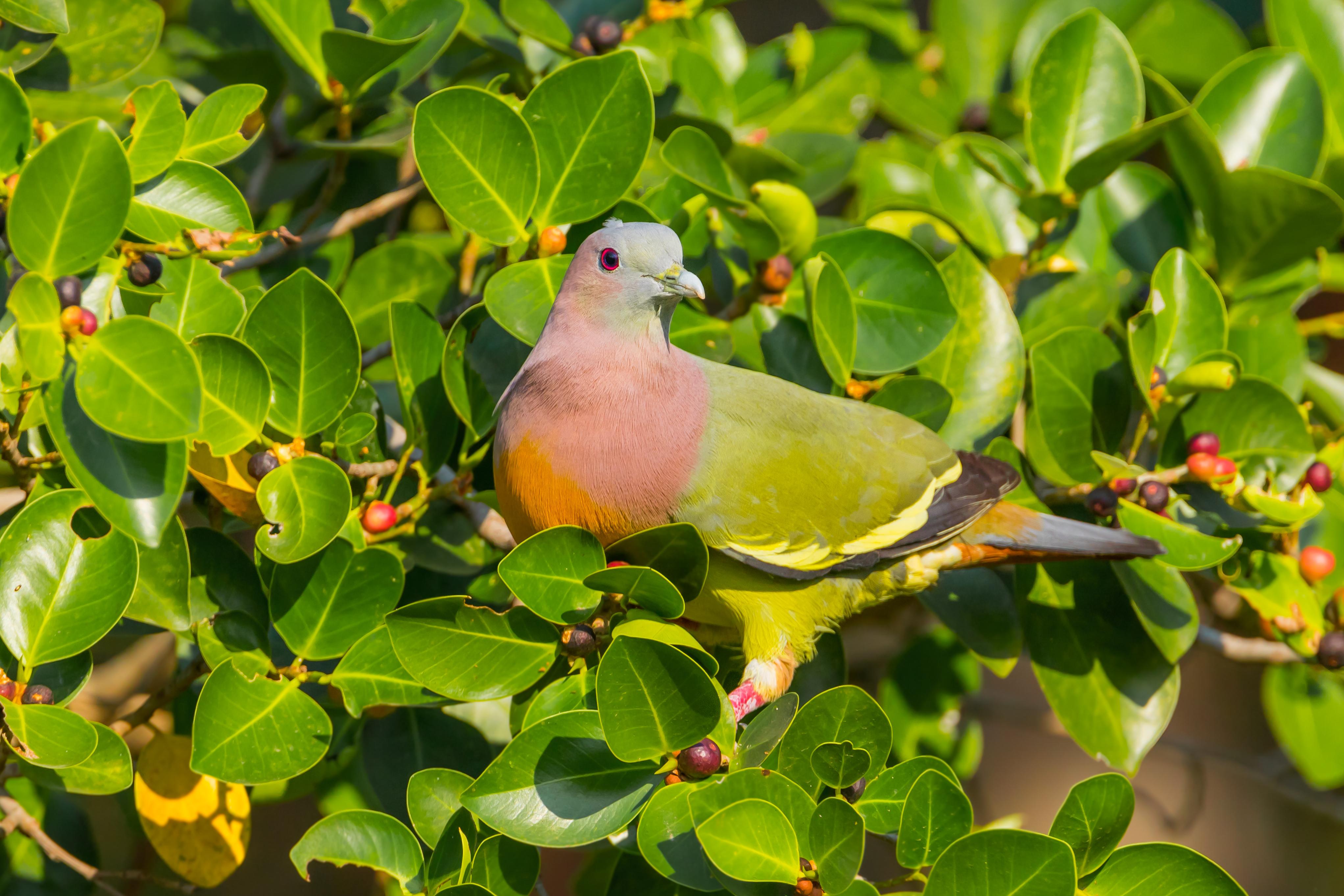 RER - Rainbow Pigeon