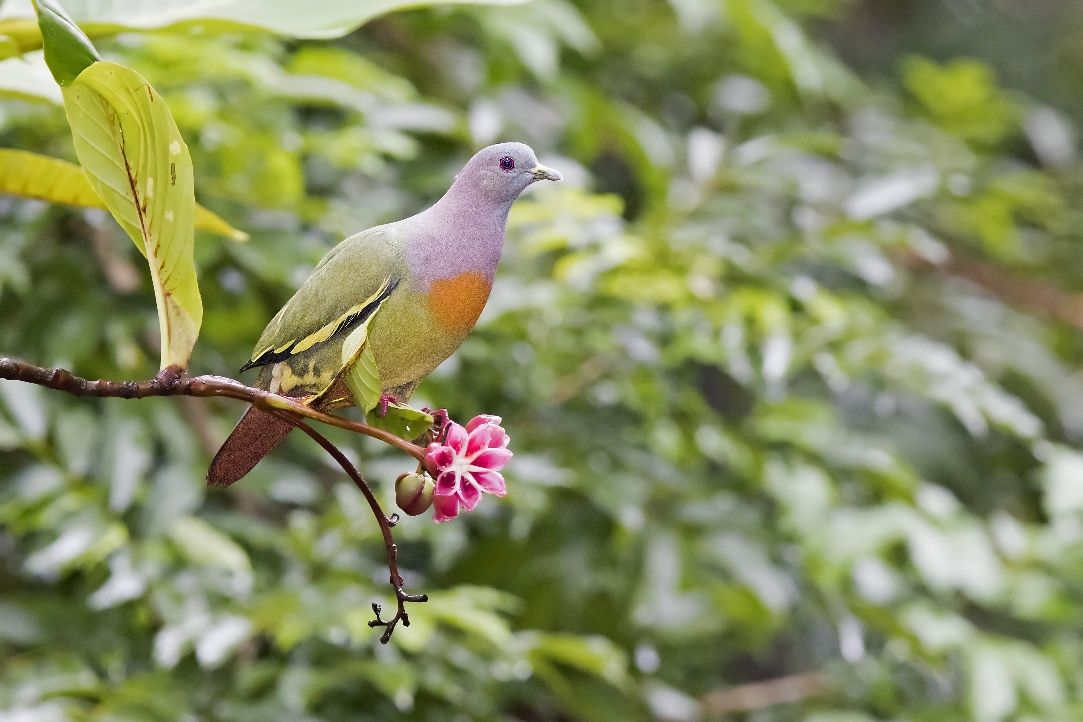 RER - Pink Necked Green Pigeon