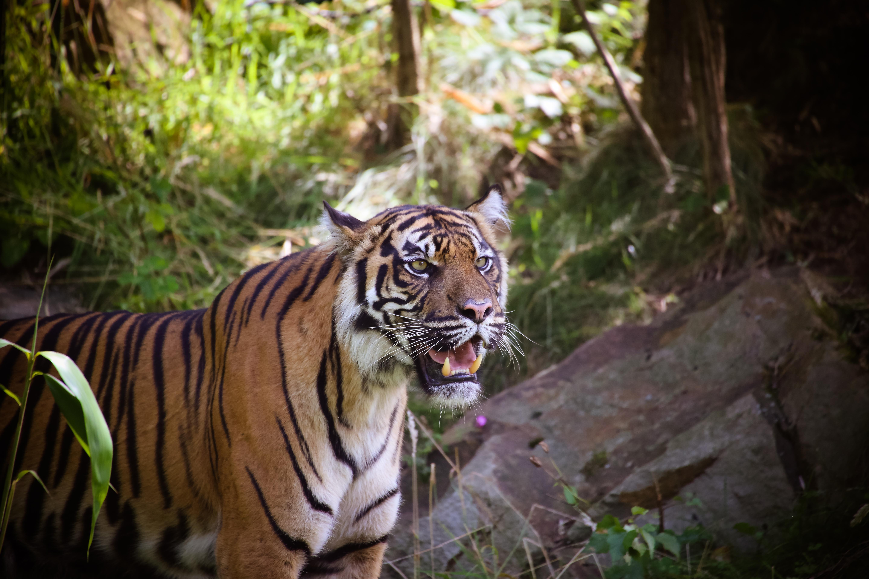 RER - Sumatran-Tiger