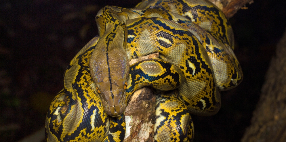 RER - Reticulated Python
