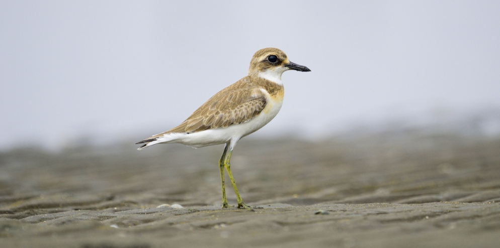RER - The Greater Sand-Plover (Charadrius leschenaultii)