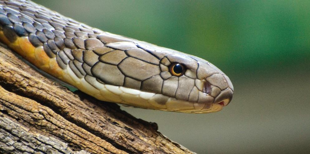 RER - Mangrove Tree Snake