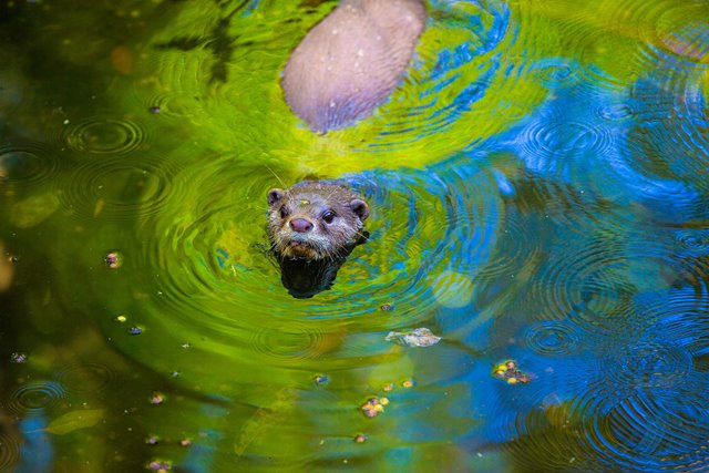 Wildlife of RER (Asian Small-clawed Otter)