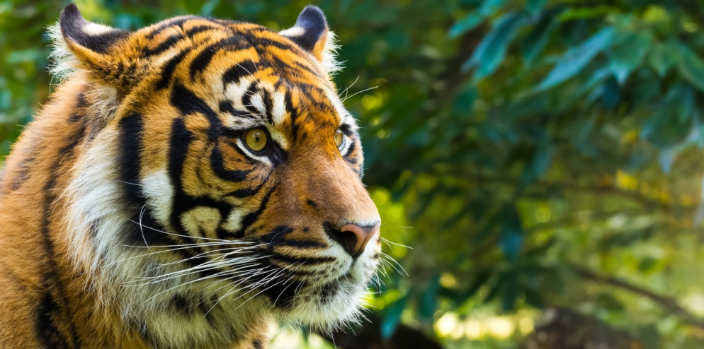 Sumatran Tiger – Global Tiger Day
