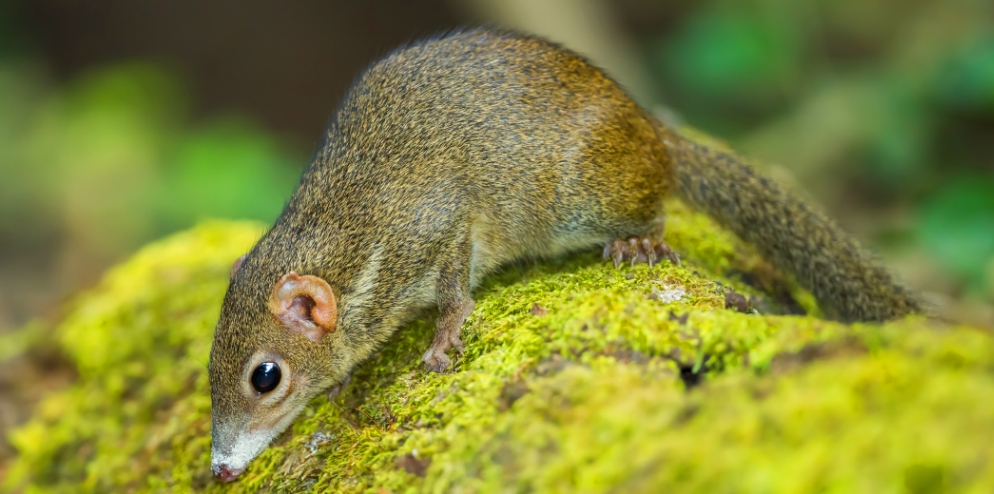 wildlife-common-treeshrew