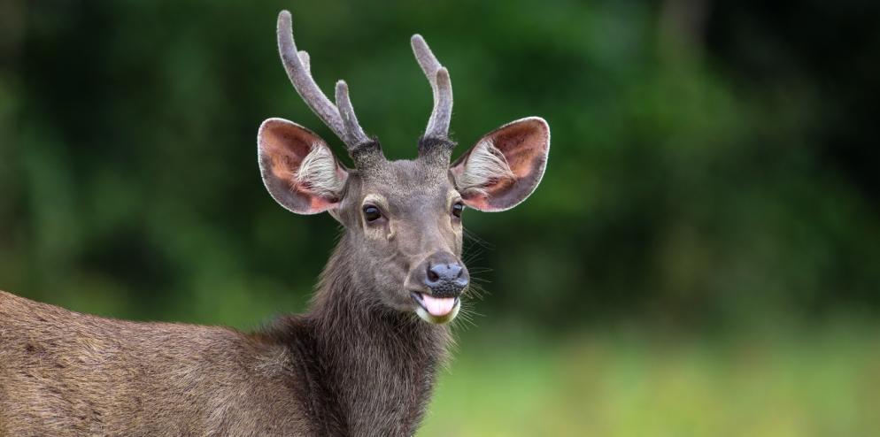 sambar-deer-indonesia