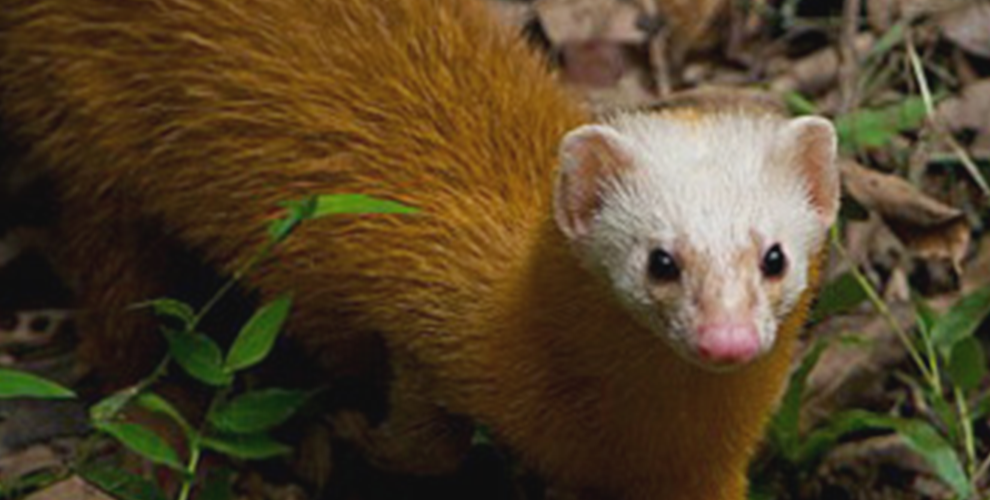 rer-malayan-weasel