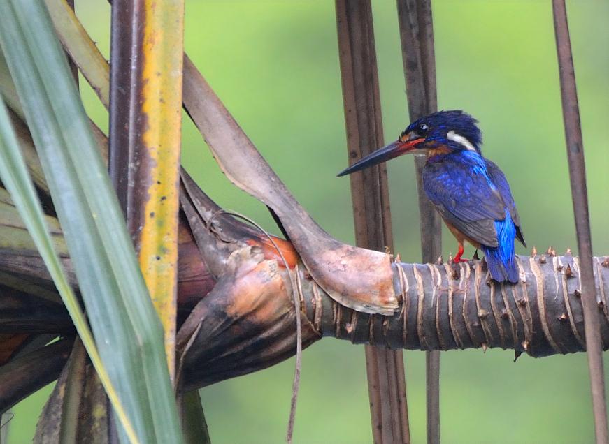 rer-blue-eared-kingfisher
