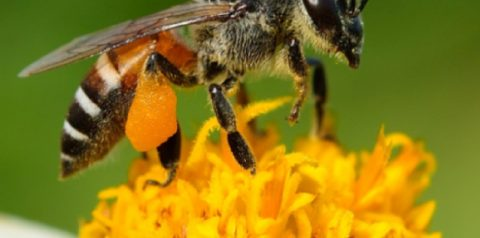 <i>Apis dorsata</i>, the Honeybee of the Sialang Tree