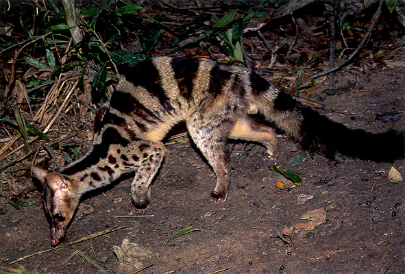 Banded Palm Civet is a rare species of civet that can be found in tropical forests of Southeast Asia, including in the Riau Ecosystem Restoration (RER) conservation area.