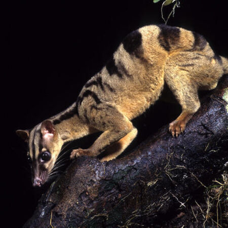 Wildlife of RER: Banded Palm Civet