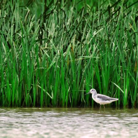Burung Trinil Kaki Hijau Muncul dalam AWC 2021