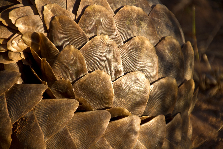pangolin scales are like human nails