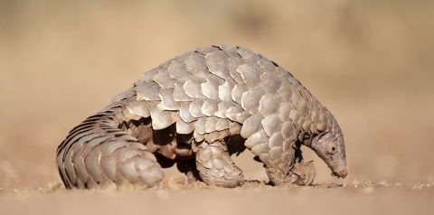 Celebrating World Pangolin Day, Here are 10 Facts about This Species