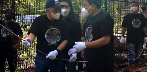 Bringing Sumatran Tiger Corina back to Habitat