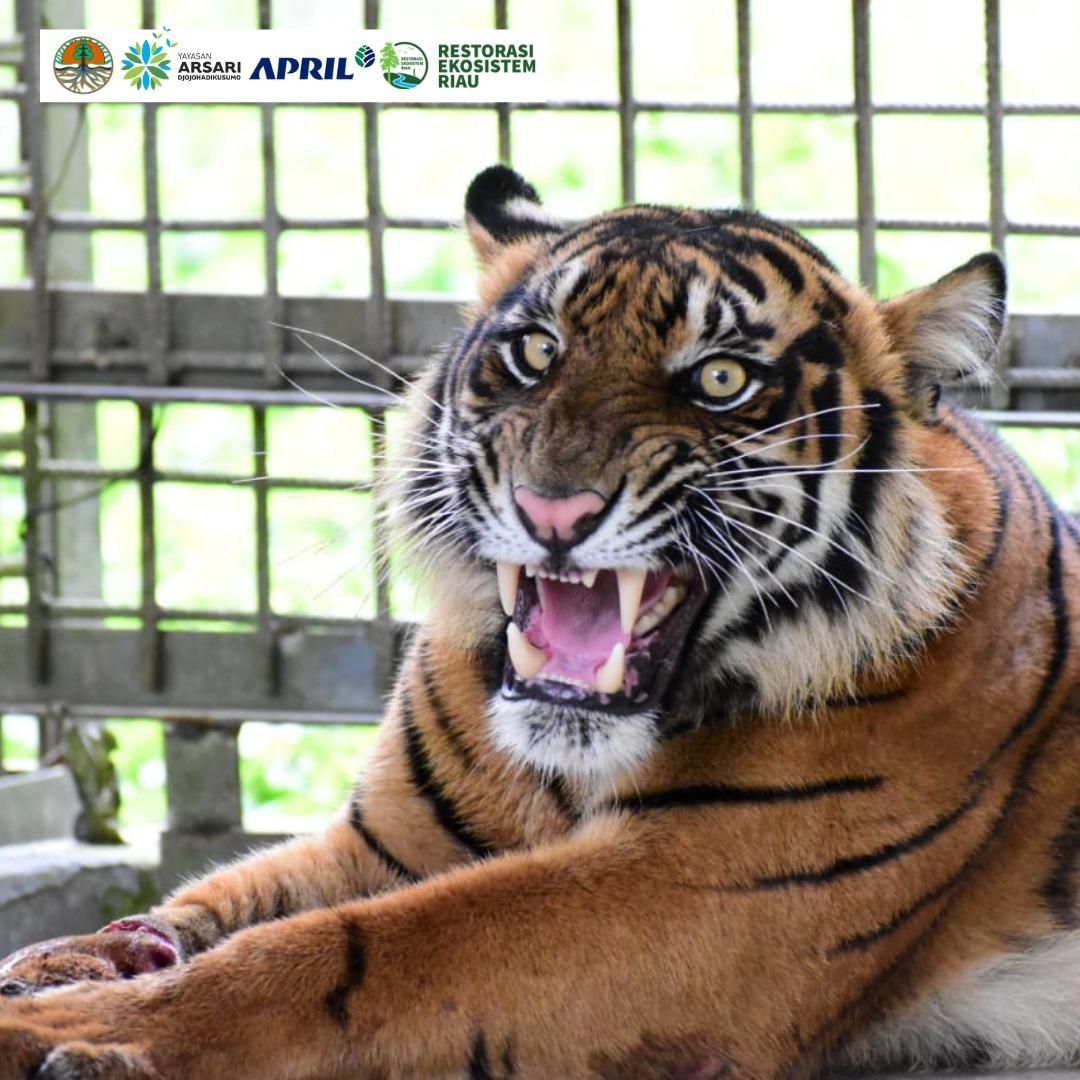 Harimau Corina di Pusat Rehabilitasi Harimau Sumatra Dharmasraya (PR-HSD), Sumatra Barat