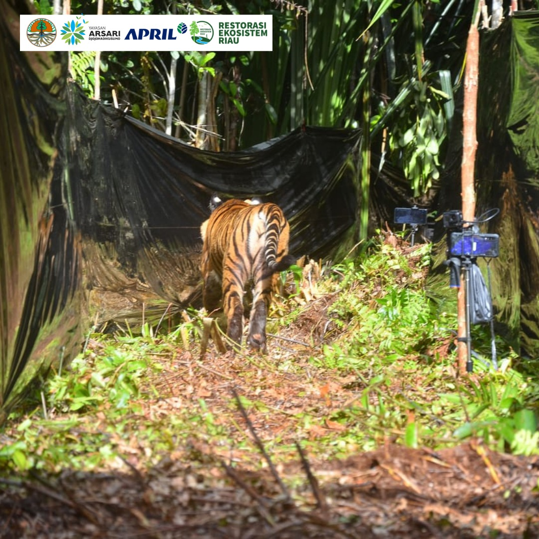 Sumatran Tiger Corina back to Habitat