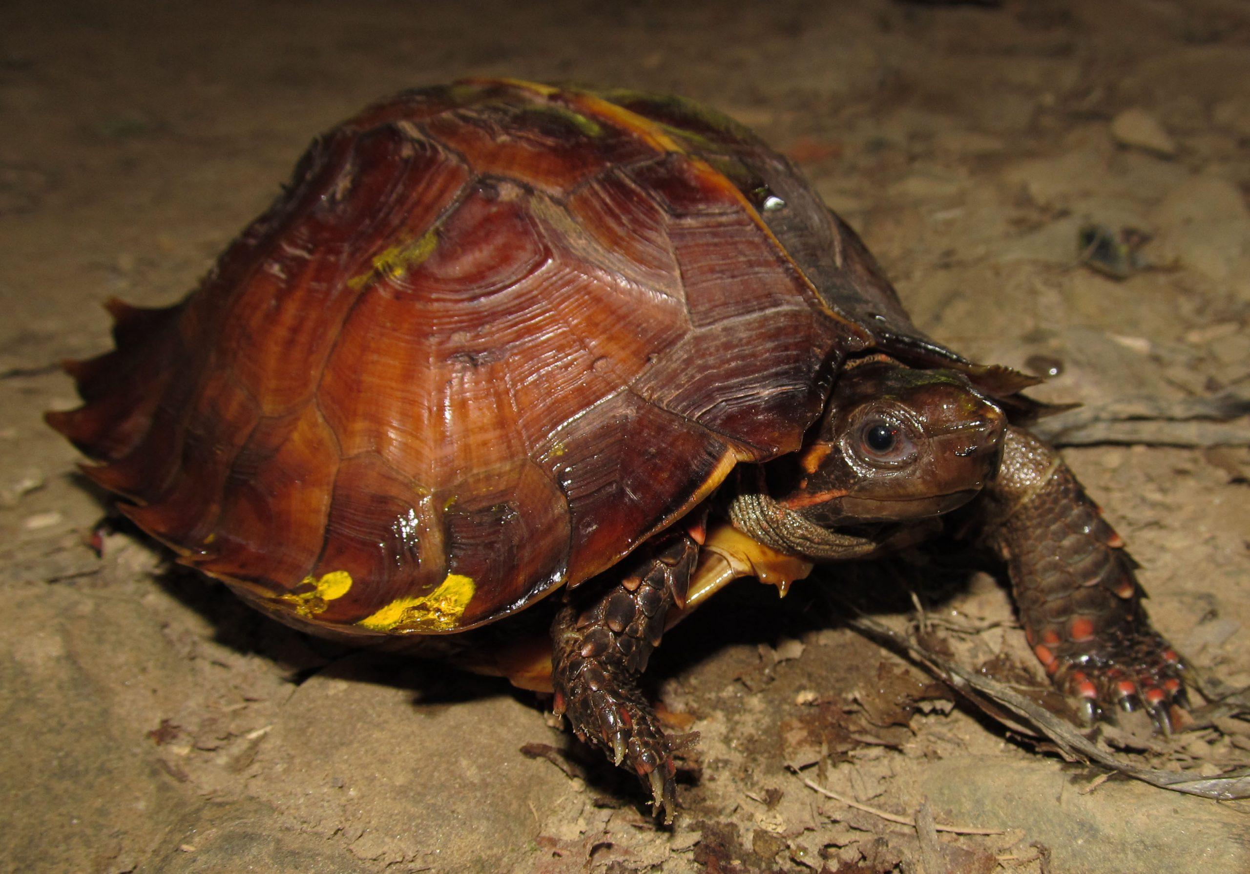 Kura-Kura Matahari (Heosemys spinose) – Endangered (EN)