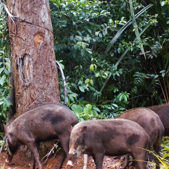 Bearded Pig International Biodiversity Day