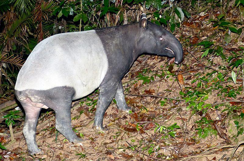 Tapir Asia merupakan spesies tapir terbesar dengan berat mencapai 350 kg dan panjang 1,8 meter. Mari berkenalan dengan Tapir Asia (Tapirus indicus)