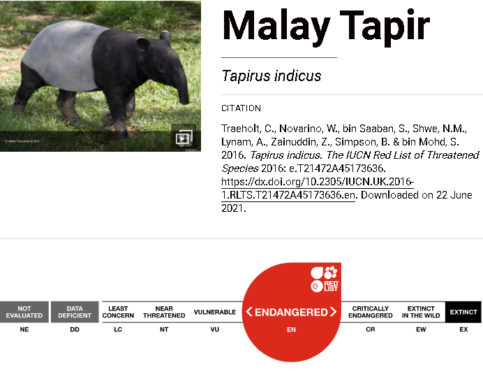 Tapir Asia juga merupakan spesies tapir terbesar dengan berat mencapai 350 kg dan panjang 1,8 meter. Mari berkenalan dengan Tapir Asia (Tapirus indicus)