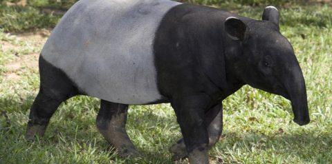 Wildlife of RER: Malay Tapir