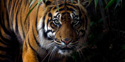 10 Terrific Tiger Facts to Celebrate International Tiger Day