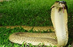 Sumatran Cobra (Naja sumatrana)