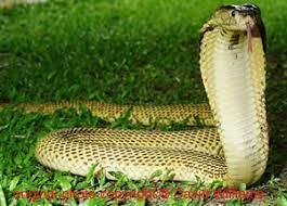 World Snake Day: Take a Closer Look at the Sumatran Cobra