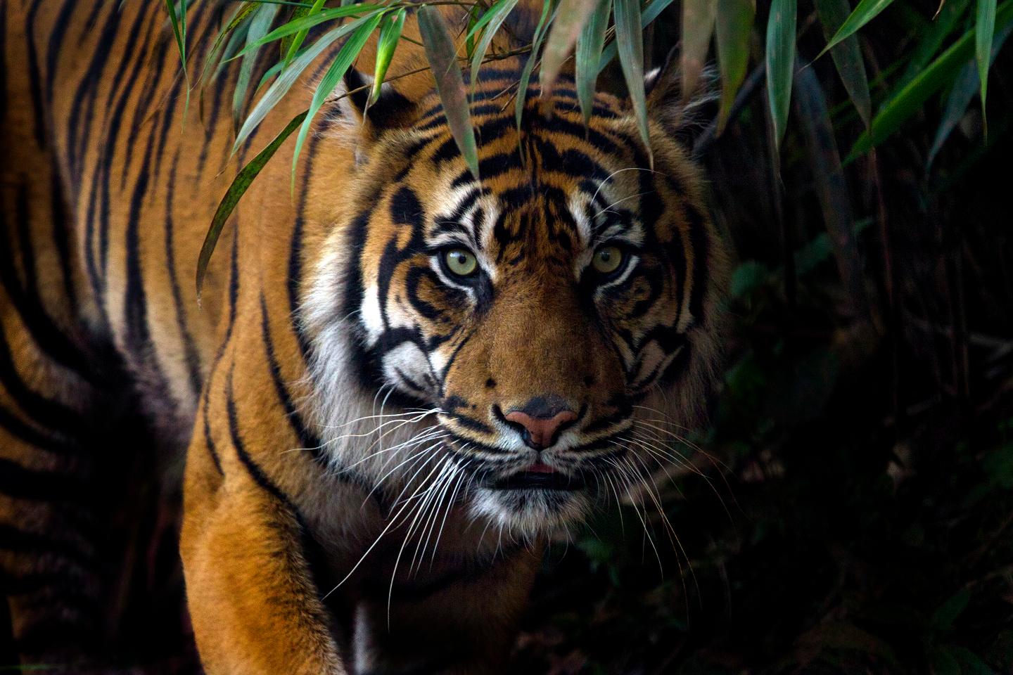 From Supermoms to great swimmer, here are 10 terrific tiger facts you may not know!