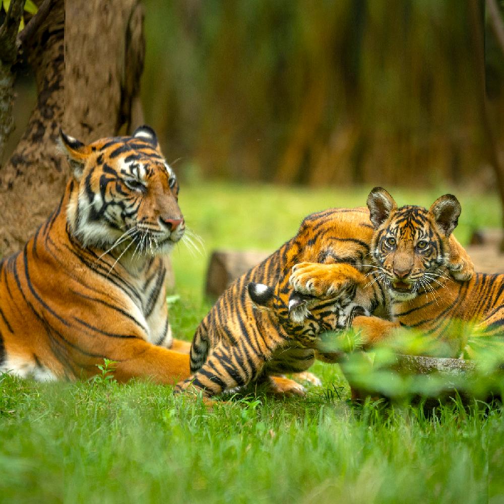 tigers are super moms