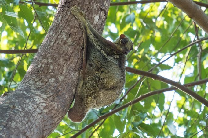Despite the name, this species is not a lemur nor it can't actually fly: it's one of the most skilled gliding mammals in the world, able to glide for up to 100m.