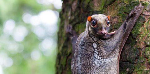 Wildlife of RER: Sunda Flying Lemur